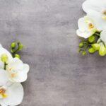 Гиацинт в горшке (Hyacinthus) в доме и саду. Выращивание и уход