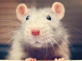 Почему ученые щекочут лабораторных крыс